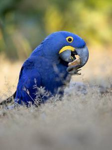 Hyacinth Macaw, Parrot Eating Brazil Nuts, Brazil by Roy Toft