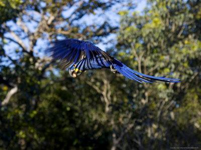Hyacinth Macaw, Parrot in Flight, Brazil