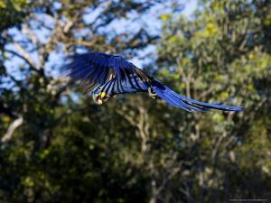 Hyacinth Macaw, Parrot in Flight, Brazil by Roy Toft
