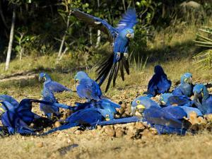 Hyacinth Macaws, Flock of Parrots Eating Brazil Nuts, Brazil by Roy Toft