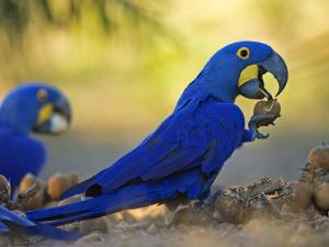 Hyacinth Macaws, Parrots Eating Brazil Nuts, Brazil by Roy Toft