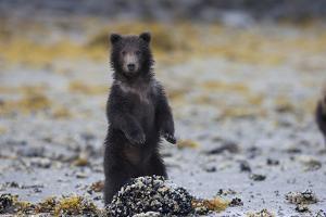 Juvenile Brown Bear Cub, Ursus Arctos, Standing by Roy Toft