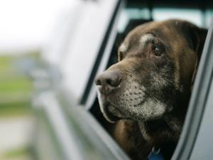 Labrador Retriever, Chocolate Labrador Retriever Dog with Head out of Car Window, USA by Roy Toft