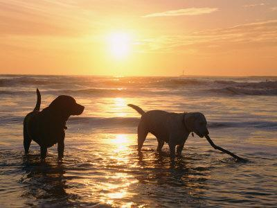 Labrador Retrievers Play in the Water at Sunset