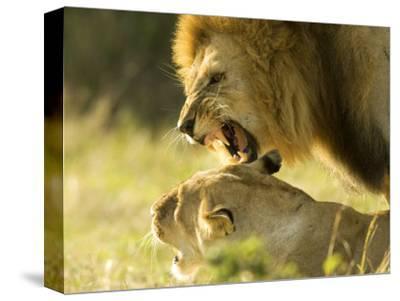 Lions, Lion Pair Mating, Masai Mara, Kenya