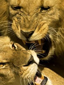 Lions, Lion Pair Mating, Masai Mara, Kenya by Roy Toft