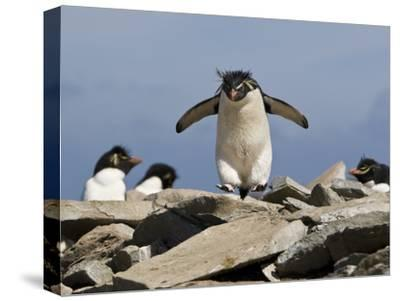 Macaroni Penguin, Eudyptes Chrysolophus, Hopping from Rock to Rock