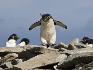 Macaroni Penguin, Eudyptes Chrysolophus, Hopping from Rock to Rock by Roy Toft