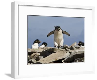 Macaroni Penguin, Eudyptes Chrysolophus, Hopping from Rock to Rock