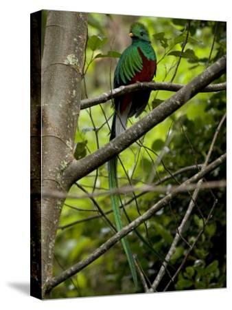 Male Resplendent Quetzal (Pharomachrus Mocinno) on a Tree Branch