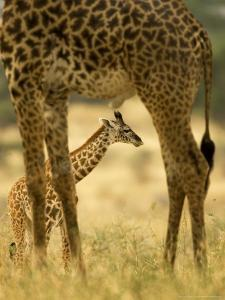 Masai Giraffe, Adult and Young, Kenya by Roy Toft