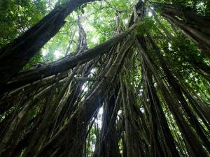 Matapalo Tree or Strangler Fig, Osa Peninsula, Costa Rica by Roy Toft