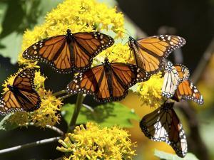 Monarch Butterflies, Danaus Plexippus, Resting on a Flower by Roy Toft