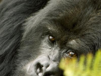 Mountain Gorilla, Close-up of Face Looking Through Fern, Africa by Roy Toft