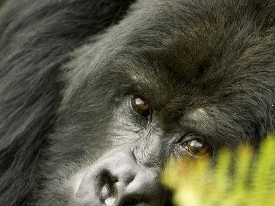 Mountain Gorilla, Close-up of Face Looking Through Fern, Africa