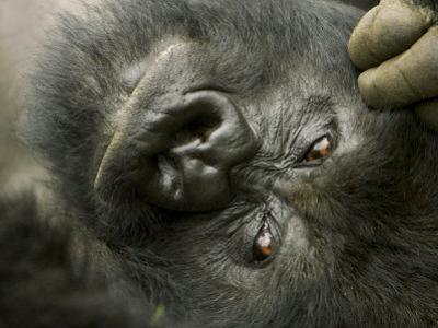 Mountain Gorilla, Close-up of Face, Scratching Head, Africa