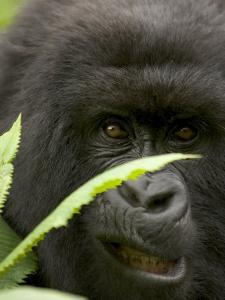 Mountain Gorilla (Gorilla Gorilla Berengei)Showing Teeth, with Leaves by Roy Toft