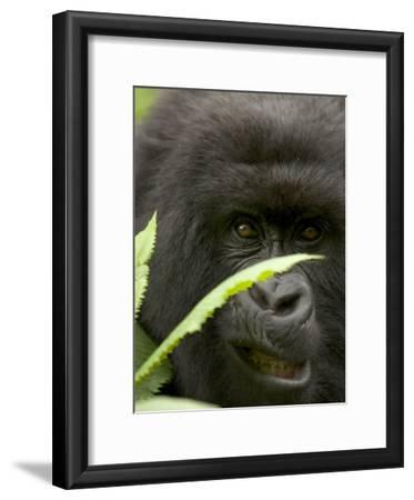 Mountain Gorilla (Gorilla Gorilla Berengei)Showing Teeth, with Leaves