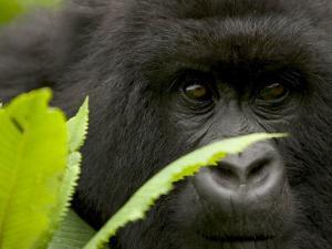 Mountain Gorilla (Gorilla Gorilla Beringei)Behind Green Leaves by Roy Toft