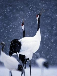 Pair Endangered Red-Crowned Cranes Calling in Snow (Grus Japonensis) by Roy Toft