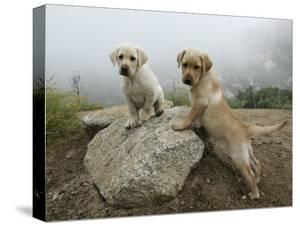 Beautiful Labrador Retriever: Black, Chocolate & Yellow Labs canvas