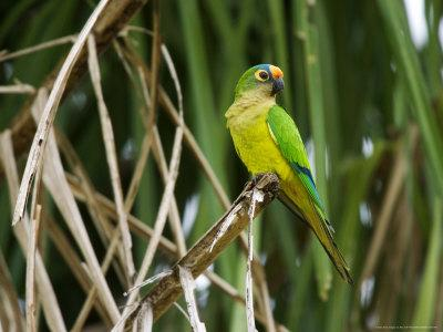 Peach-Fronted Parakeet, Parakeet Perched on Leafy Branch, Brazil