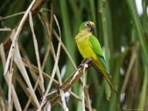 Peach-Fronted Parakeet, Parakeet Perched on Leafy Branch, Brazil by Roy Toft