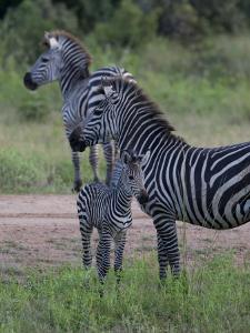 Plains Zebra, Equus Quagga, Parent and Young by Roy Toft