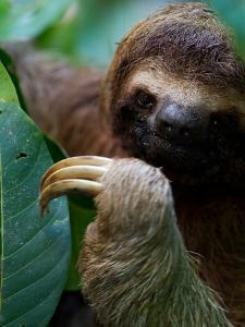 Portrait of a Brown-Throated Three-Toed Sloth, Bradypus Variegatus by Roy Toft