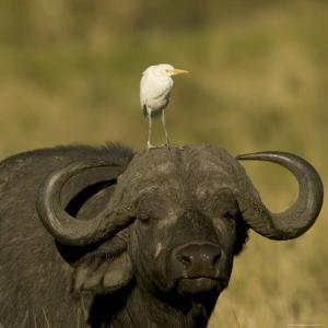 Portrait of a Cape Buffalo with a Cattle Egret Perched on Its Head (Syncerus Caffer) by Roy Toft
