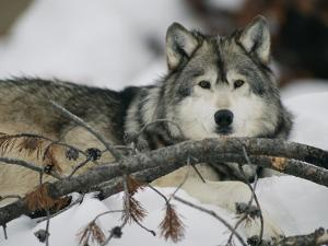 Portrait of a Captive Gray Wolf by Roy Toft
