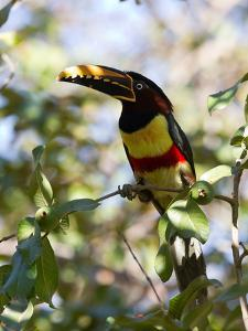 Portrait of a Chestnut-Eared Aracari Perched on a Branch by Roy Toft