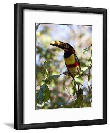 Portrait of a Chestnut-Eared Aracari Perched on a Branch