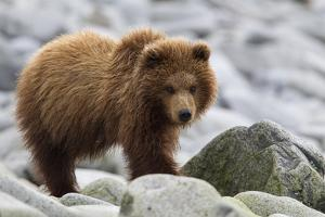 Portrait of a One-Year-Old Brown Bear Cub, Ursus Arctos by Roy Toft