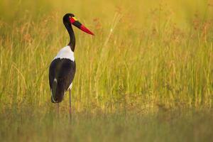 Portrait of a Saddle-Billed Stork Standing in Tall Grass by Roy Toft