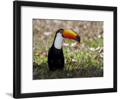Portrait of a Toco Toucan, Ramphastos Toco, on the Ground