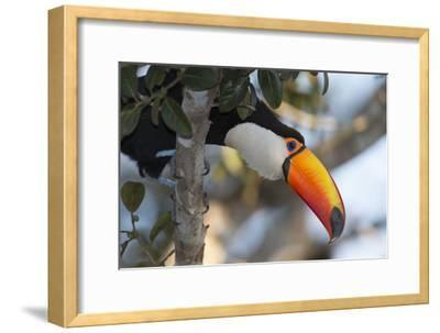 Portrait of a Toco Toucan, Ramphastos Toco, Perched in a Tree