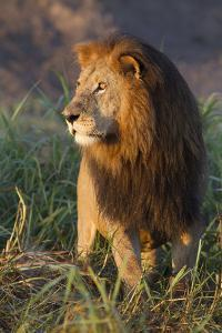 Portrait of Male African Lion in Late Afternoon Sunlight by Roy Toft
