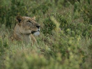Profile Portrait of an African Lioness in a Grassy Landscape by Roy Toft