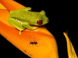 Red-Eyed Tree Frog on Haliconia Flower with an Ant, Costa Rica by Roy Toft