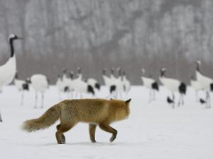 Red Fox Watches Japanese Red-Crowned Crane Flock (Grus Japonensis) by Roy Toft