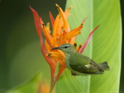 Red-Legged Honeycreeper, Female on Flower, Costa Rica