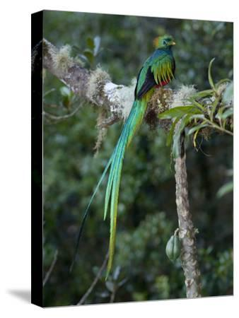 Resplendent Quetzal, Pharomachrus Mocinno, Bird Perched in a Tree