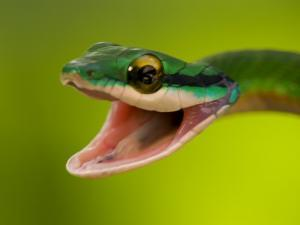 Satiny Parrot Snake (Leptophis Depressirostris) with Mouth Wide Open by Roy Toft