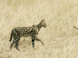 Serval, Walking in Grassy Field, Africa by Roy Toft