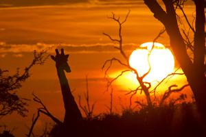 Silhouette of Southern Giraffe at Sunset by Roy Toft