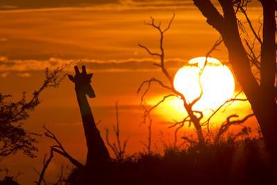 Silhouette of Southern Giraffe at Sunset