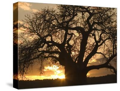 Silhouetted African Baobab Tree at Sunset