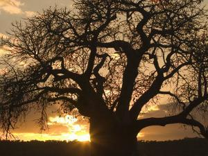 Silhouetted African Baobab Tree at Sunset by Roy Toft