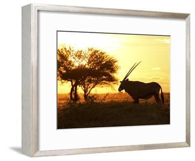 Silhouetted Gemsbok, Oryx Gazella, and Tree at Sunrise